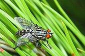 Flesh Fly on pine needles Spain