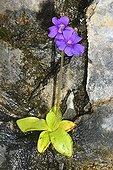Common Butterwort flowers Pyrenees Spain