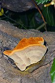 Tree Fungus Fruiting body on White Mulberry Tree trunk Spain