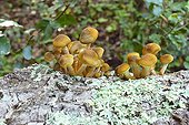 Honey fungus clump on Tree trunk Spain
