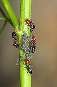 Cocktail Ants group on stem milking aphids Spain