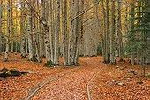 Beech trees in fall Ordesa y Monte Perdido Pyrenees Spain