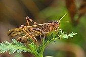 Migratory Locust on a leaf Spain