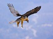 Lammergeier in flight Ordesa NP Pyrenees Spain