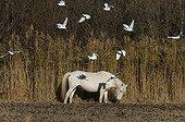 Camargue Horse and Cattle Egrets Camargue France
