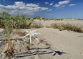 Sea lilies blooming in a dune Camargue France