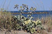 Maritime dune thistle in Camargue France