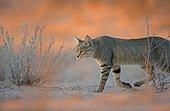 African wild cat walking at dawn in the desert South Africa