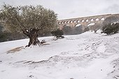 Olive centuries before the Pont du Gard in winter France