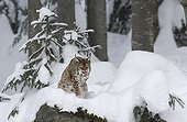 Euraian Lynx grooming in the snow