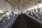 Lacaune ewe breeding in Aveyron  France