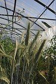 Organic culture of wheat under greenhouse