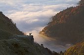 Chamois on the Vosges ridges at sunrise France