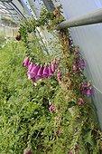 Culture of foxglove under greenhouse