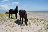 Wild horses grazing on the isthmus Miquelon-Langlade  ; Many horses are left free in the isthmus by their owners. Marram grass by grazing, grass that stabilizes the sand dunes of the isthmus, the horses involved to aggravate erosion of the dunes and the isthmus in general.