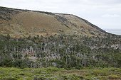 Forest degraded by deer Saint-Pierre and Miquelon  ; Boreal forest dying out because of the massive impact of introduced deer on the regrowth of trees.