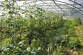 Organic plantation of vegetables under greenhouse