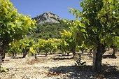 Vineyard in the Gard  France