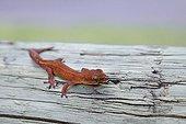 Endemic Wood Gecko New Caledonia