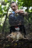 Black rat caught in a trap in the forest New Caledonia ; Capturing a black rat in the remaining dry forest Ouentoro, right Noumea. This small invasive rodent gradually colonized most of the islands in the world and there is considerable damage to the native fauna.