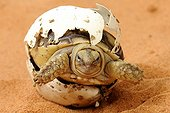 "Hatching African Spurred Tortoise on sand Corsica France ; Park Turtles ""A Cupulatta"""