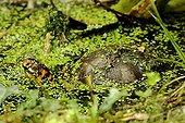 "Gulf Coast Box Turtle and Duckweed Corsica France  ; Park Turtles ""A Cupulatta"""