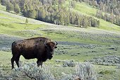 American bison in prairie  Yellowstone USA