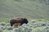 American bison nursing in prairie  Yellowstone USA