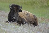 American bison lying in prairie  Yellowstone USA