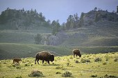 American bison and calf in prairie  Yellowstone USA