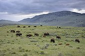 American bisons in prairie  Yellowstone USA
