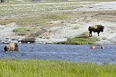 American bisons crossing a river Yellowstone USA