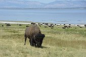 American bison at the salt lake Antelope Island USA