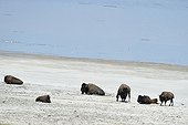 American bisons at the salt lake Antelope Island USA