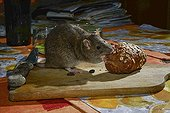 Brown rat eating bread on a table France