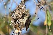 Souimanga Sunbird building its nest South West Madagascar  ; Using plant fibers and spider web