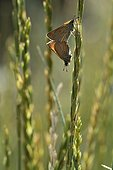 Small Skipper matin on grass Alps France