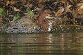 Rufescent Tiger-Heron lakeside Sandoval Amazon Peru
