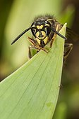 Common wasp on a leaf Lorraine France