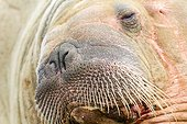 Portrait of Walrus resting on the shore Spitsbergen Svalbard