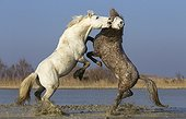 Stalions Camargue horses fighting in a swamp in winter
