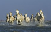 Camargue horses running in a swamp in winter
