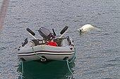Ours polaire nageant autour d'un bateau de tourisme Svalbard
