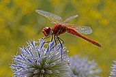 Red-veined Darter male on flower Ebre delta Spain ; Wired Spider and Midge stuck to the leg