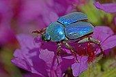 Blue Scarab Beetle male on Fireweed flower France