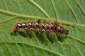 Caterpillar on leaf of Hydrangea France