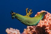 Nudibranch - Asia Indian Ocean ; close up of Sea Slug, Baa Atoll, Indian Ocean, Maldives