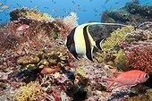 Poisson d'aquarium - Asie Océan Indien ; Moorish Idol in Coral Reef, North Male Atoll, Maldives