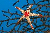 Peppermint sea star - Asia Indian Ocean ; Red Mesh Starfish, Thaa Atoll, Maldives