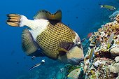 Titan triggerfish - Asia Indian Ocean ; Green Giant Triggerfish, Thaa Atoll, Maldives